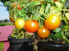 Semillas de Tomate Cherry Gold en internet