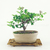 bonsai grewia occidentalis en maceta esmaltada en internet