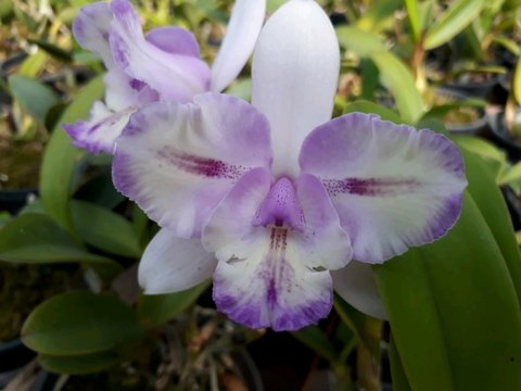 Diacattleya Chantilly Lace x Cattleya intermedia tipo