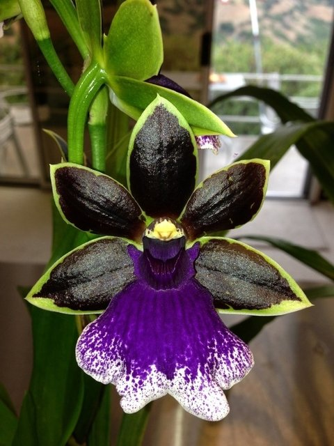 Zygopetalum (Maculatum x Blue Point )