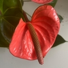 Anthurium chico