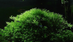 Rotala sp. green Aquaplante