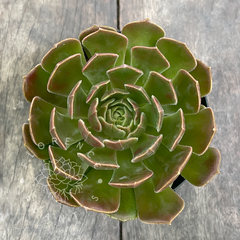 Echeveria 'Brown Rose' (G, única)