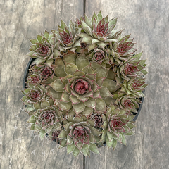 Sempervivum 'Red Beauty' (Colônia)