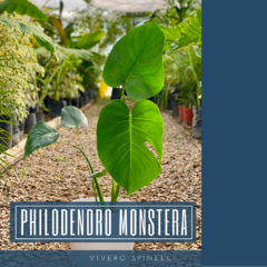 PHILODENDRO MONSTERA
