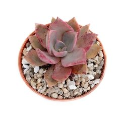 Graptoveria Douglas Hut