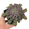 Echeveria Fantastic Fountain XL - Succumom