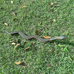 Cobra Guarani SP na internet