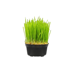 SPROUTED CAT GRASS