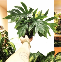 Philodendron elegans -XS-