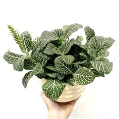 HUELLA MATCH: HONEY + FITTONIA VERDE BIG