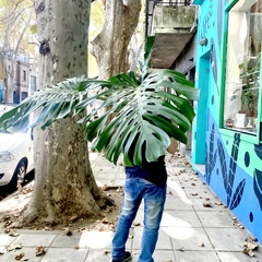 MONSTERA EXTRA LARGE CUTTINGS en internet