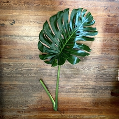 MONSTERA EXTRA LARGE CUTTINGS - tienda online
