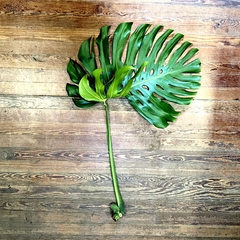 MONSTERA EXTRA LARGE CUTTINGS
