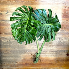 MONSTERA EXTRA LARGE CUTTINGS - comprar online