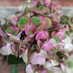 Hortensia Magical Amethyst Pink